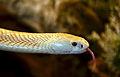 Naja kaouthia albino Genève 24102014 B 1.jpg