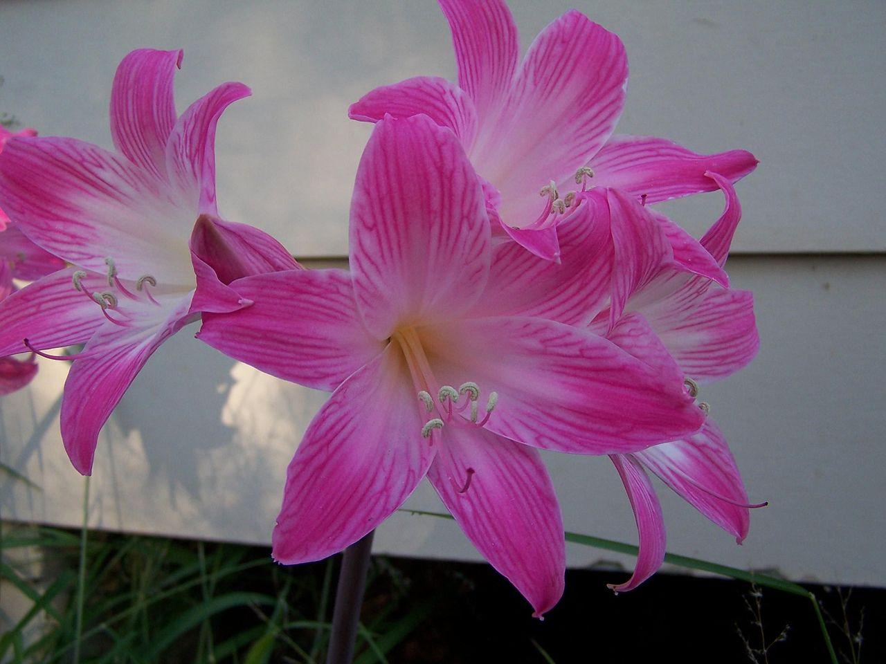 File Naked la s pink flower Wikimedia mons
