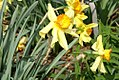 Narcissus Dorine 0zz.jpg