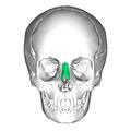 Nasal bone anterior.png
