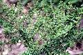 Nashia inaguensis 13zz.jpg