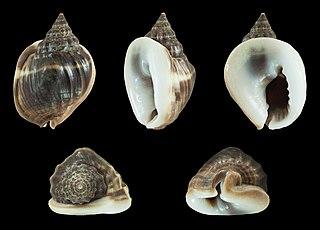 <i>Nassarius pullus</i> Species of gastropod