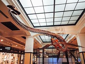 Futabasaurus - Reconstructed skeleton