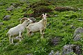 Nationalpark Hohe Tauern - Gletscherweg Innergschlöß - 61 - Saanen-Ziegenböcke.jpg