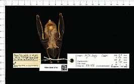 Naturalis Biodiversity Center - RMNH.MAM.32182 ven - Hipposideros dyacorum - skin.jpeg
