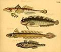 Naturgeschichte in Bildern mit erläuterndem Text (Taf. XXXIII) (6059208972).jpg