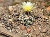 Navajoa peeblesiana fh 053 AZ in cultur BB