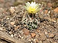 Navajoa peeblesiana fh 053 AZ in cultur BB.jpg