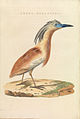 Nederlandsche vogelen (KB) - Ardeola ralloides (456b).jpg