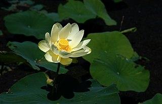 <i>Nelumbo lutea</i> Species of aquatic plant