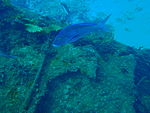 Nemadactylus valenciennesi Queen snapper PC259826.JPG