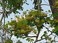 Nenmeeni-vaaka (Malayalam- നെന്മേനി വാക) (3352155268).jpg