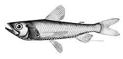 Neoscopelus macrolepidotus.jpg