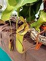 Nepenthes truncata Exhibition of Carnivorous Plants Prague 2016 2.jpg