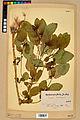 Neuchâtel Herbarium - Impatiens noli-tangere - NEU000019940.jpg