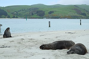 New Zealand sea lion - Sea lions on Aramoana in the Otago Harbour