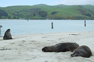 Aramoana - Endangered New Zealand sea lions resting on Aramoana Mole