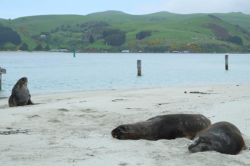 New Zealand Sea Lions at The Spit, Aramoana