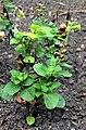 Nicotiana rustica Prague 2017 1.jpg