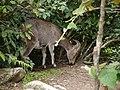 Nilgiri Tahr (14548539273).jpg