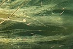 Ninespine sticklebacks among seaweed in Gullmarsfjorden 4
