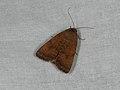 Noctua interjecta (36685887585).jpg