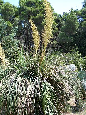 Nolina - Nolina longifolia