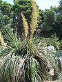 Nolina longifolia-1.jpg