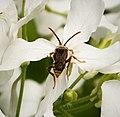 Nomada marshamella. Marsham's Nomad Bee, probably - Flickr - gailhampshire.jpg