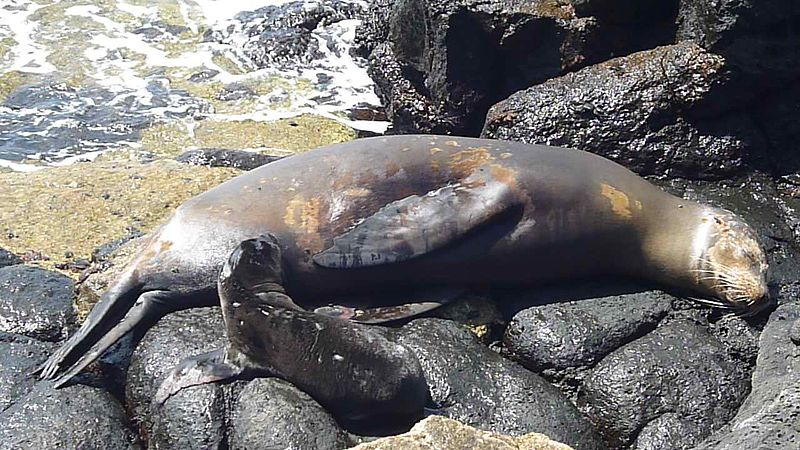 Fichier:North Seymour Island Galapagos Seal photo with baby by Alvaro Sevilla Design.JPG