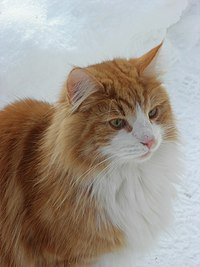 Norwegian Forest Cat in snow (closeup).jpg
