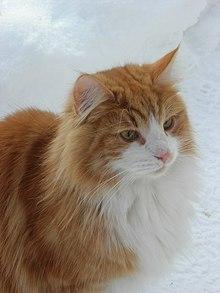 Norwegian Forest Cat Wikipedia