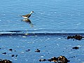 Nova Scotia DSC02171 - Lesser Yellowlegs (8175729429).jpg