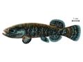 Novumbra oregonensis.png