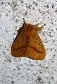 Nygmia plana sp. group (Lymantriidae Nigmiini).jpg