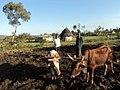 OXEN FARMING IN SOUTH RIFT KENYA.jpg