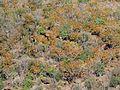 Ochna pulchra, winterkleure, Little Eden.jpg