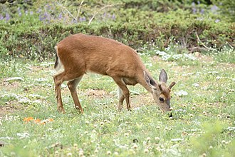 Mule deer are among the most common mammals in Thousand Oaks. Odocoileus hemionus 6017.JPG