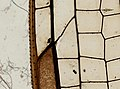 Odonata (YPM IZ 098543).jpeg