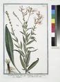 Oenothera - Onagra - L'Herbe aux Anes. (Evening Primerose, Sundrops, Suncups) (NYPL b14444147-1130624).tiff