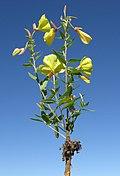 Oenothera glazioviana plant3 NT (16580045956).jpg