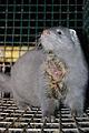 Oikeutta eläimille - Fur farming in Finland 08.jpg