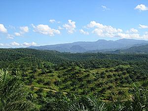 Agriculture in Indonesia - Vast palm oil plantation in Indonesia. Currently Indonesia is the world largest producer of palm oil.