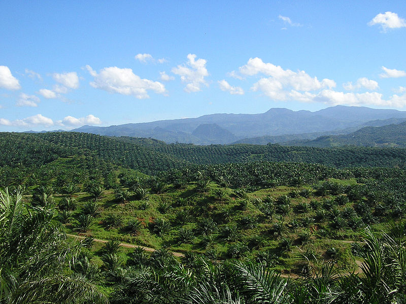 A palm oil plantation in Cigudeg, Bogor, Indonesia. Credit: Wikipedia commons