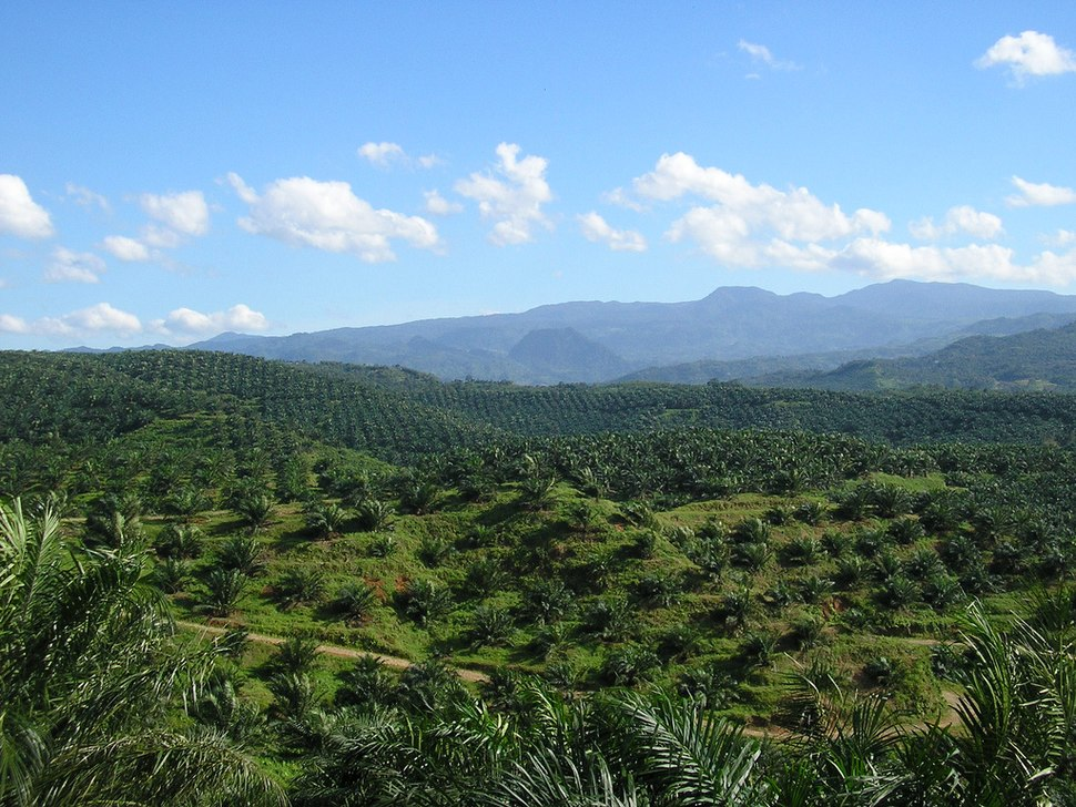 Oil palm plantation in Cigudeg-03