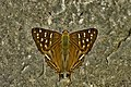 Open wing Basking of Dodona eugenes (Bates, 1868)– Tailed Punch WLB DSC 9029.jpg
