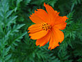 Orange-Cosmos.jpg