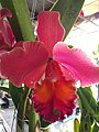 Orchid from Thailand 10.jpg