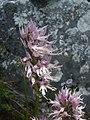 Orchis italica.001 - Serra de Enciña de Lastra.JPG