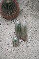 Oreocereus Fossulatus & Peru (1) (11982908823).jpg